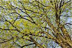 Maple Tree Blossom, Aschaffenburg, Bavaria, Germany