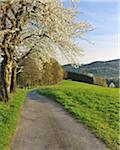 Pfad und Kirschbäume, Lindenfels, Hessen, Deutschland