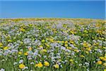Pré des pissenlits et des fleurs de coucous, Bavière, Allemagne