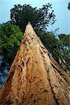 Sequoia tree in Yosemite National Park, California, U.S.A.