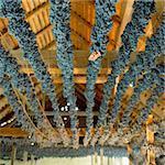 grapes drying for straw wine (neronet), Biza Winery, Cejkovice, Czech Republic