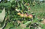 Natural Bio Apple