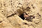 Common Kestrel (falco tinnunculus) on the nest
