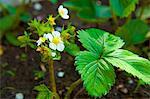 Erdbeerpflanzen mit Blumen