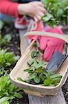 Fresh mint and garden utensils in a wooden basket