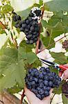 Raisins rouges à couper d'une vigne