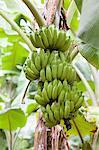 Bananas on a tree