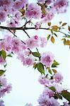 Kwanzan cerisier en fleurs