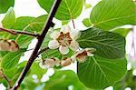Kiwi Frucht Blüte