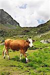 Eine Kuh in einer Almwiese