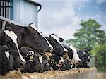 Cows eating hay in barn