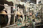 Farmer hooking cows to milking machine