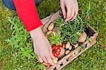 Vue d'angle élevé de main d'une femme mettre les légumes dans une caisse