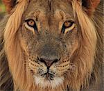Lion Porträt, Kgalagadi Transfrontier Park, Afrika