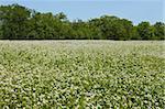 Edge of flowering buckwheat field near trees. A lot of buckwheat plants