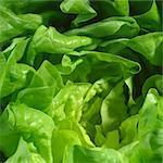 Lettuce (detail)