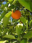 An orange on a tree (close-up)