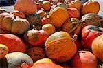 Lots of giant orange pumpkins