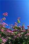 Rosa Blüten vor dunklen blauen Himmel