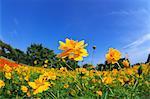 Gelbe Blumen gegen blauen Himmel