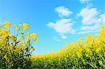Champ moutarde et ciel bleu en arrière-plan