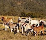 Australian beef cattle Brahman heifers and cows
