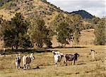 Brahman beef cattle in Australian rural scene