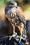 Hawk sitting on the glove