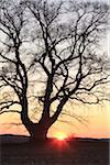 Vieux chêne en champ au coucher du soleil, Hesse, Allemagne