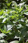 Brennesseln, Blackberry Blättern und Bärlauch im Wald