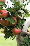 Un Cluster de croissant sur une branche sur un pommier dans un verger de pommes
