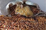 Eine live-Maus mit Weizen