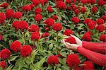 Kamel Blume cupped in Händen der jungen Frau