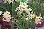Narcissus, flower market, Hong Kong