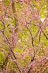 Arbre arbre de Judée en pleine floom