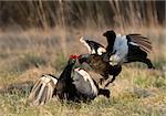 Black Grouse  (Tetrao tetrix) at lek. Spring.  Russia.
