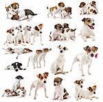 portrait of many purebred jack russel terrier in studio