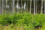 Spruce Forest, Odenwald, Hesse, Germany