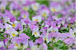 Viola Flowers, Bavaria, Germany