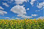 Sonnenblumen Feld, Arnstein, Main-Spessart, Franken, Bayern, Deutschland
