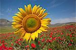 Sonnenblumen und roten Mohnblumen