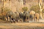 Troupeau d'éléphants d'Afrique sur le déménagement, les réserves de Mana Pools, Zimbabwe