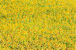Tournesol (Helianthus) champs, Andalousie, Espagne, Europe