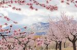 Printemps fleur d'amandier, Andalousie, Espagne, Europe