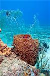Coney (Cephalopholis fulva), dans une éponge baril, Sainte-Lucie, Antilles, Caraïbes, Amérique centrale