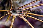 Crabe flèche de flanc jaune (Stenorhynchus seticornis), Sainte-Lucie, Antilles, Caraïbes, Amérique centrale