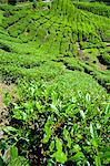 BOH tea plantation, Cameron Highlands, Malaysia, Southeast Asia, Asia