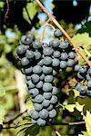 St-Laurent vin raisins dans les vignes près de village de Kostelec, Brnensko, République tchèque, Europe