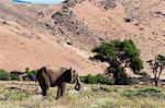 Desert elephant (Loxodonta africana), Huab River Valley, Torra Conservancy, Damaraland, Namibia, Africa