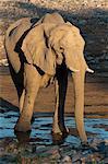 Desert elephant (Loxodonta africana), Skeleton Coast National Park, Namibia, Africa